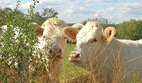Charolais Cows near H�ry.  Copyright 2012-present.  Cold Spring Press.  All rights reserved.