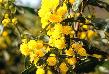 Close-up of Mimosa blossoms - © Anita Rieu-Sicart / Var Village Voice 2008.  All Rights Reserved.